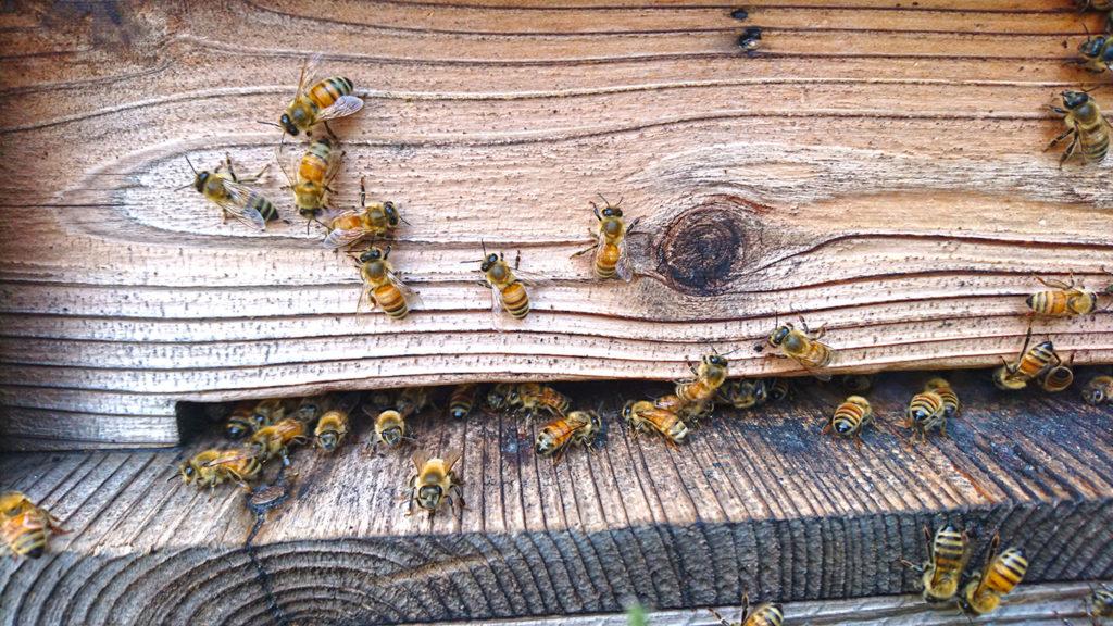 通常のミツバチの巣箱の前のミツバチ