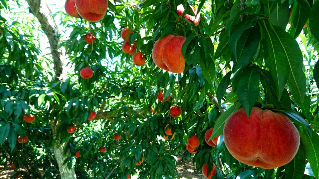 たわわに実る桃の実
