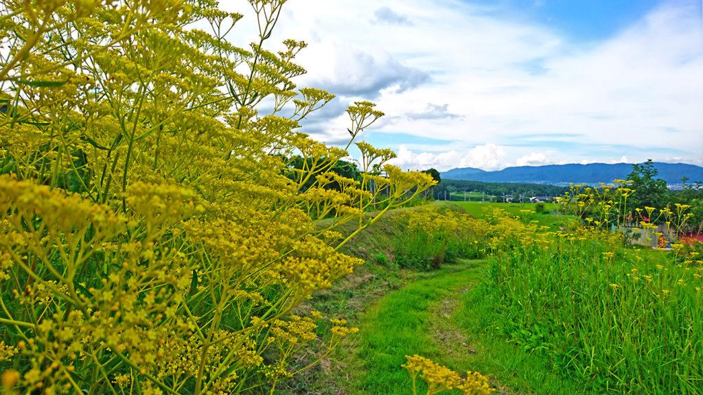 咲き誇るオミナエシ
