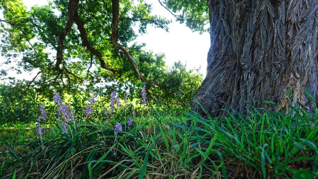 柳の大木の根元に咲くヤブラン