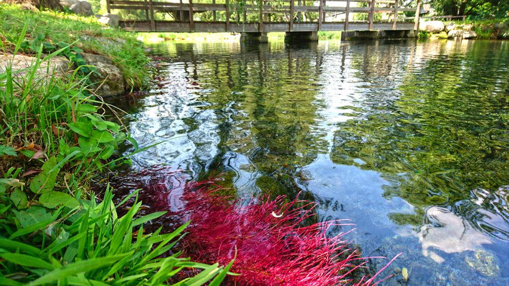安曇野わさび田湧水群公園のショッキングピンクの柳の根
