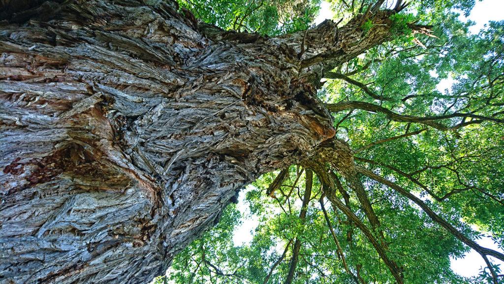 久保田公園の柳の大木