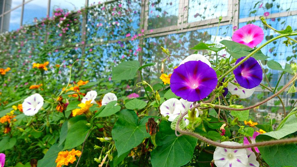 穂高西中学のアサガオの花