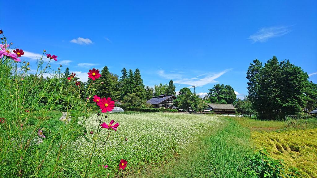コスモスと蕎麦の花が咲く田園風景