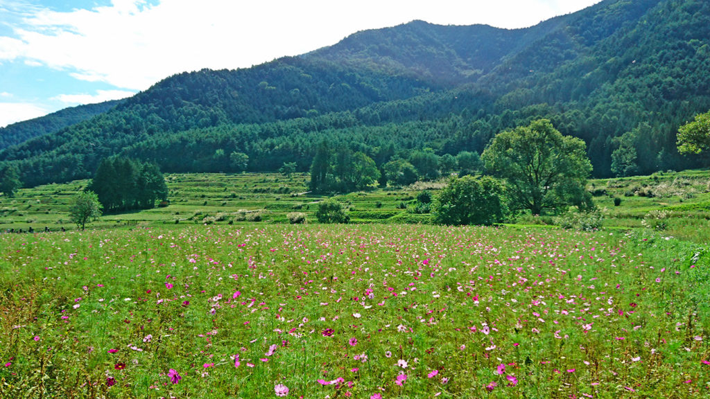 コスモスと田園風景