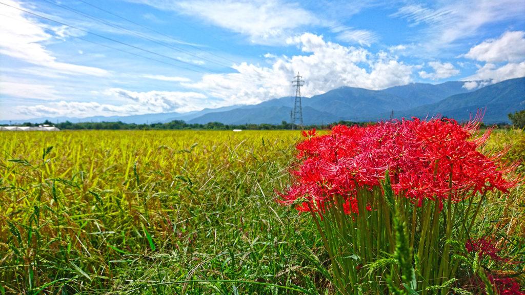 田んぼの畔に咲くヒガンバナ