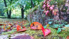 ツタの紅葉と落葉した桜の葉 鐘の鳴る丘集会所