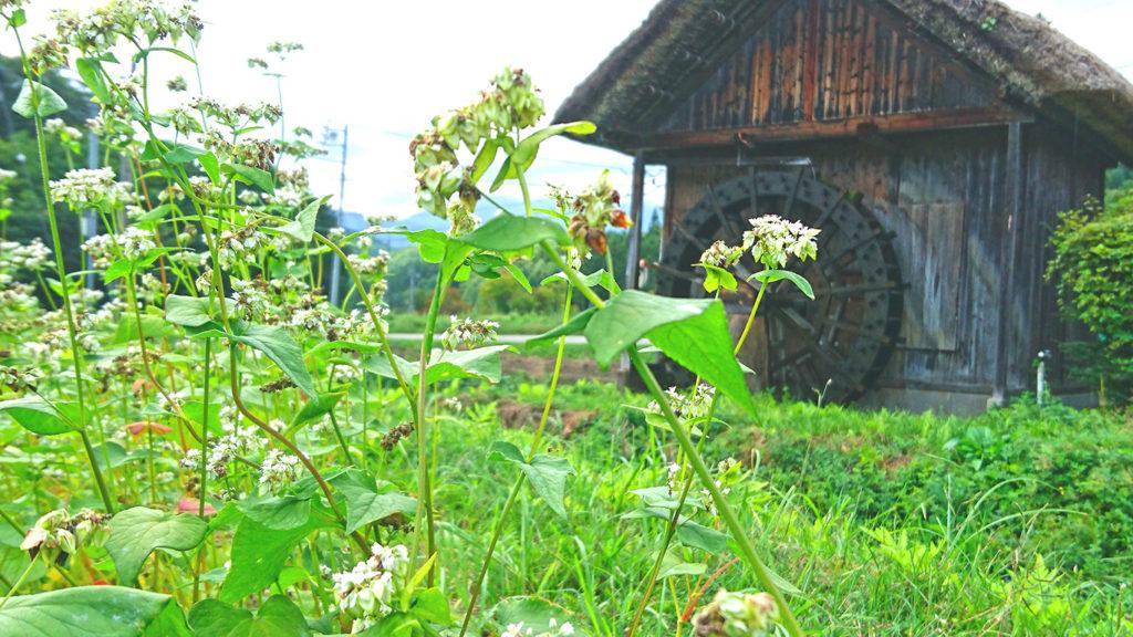 美麻の水車小屋と蕎麦の花