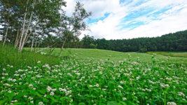 中山高原の白樺と蕎麦の花