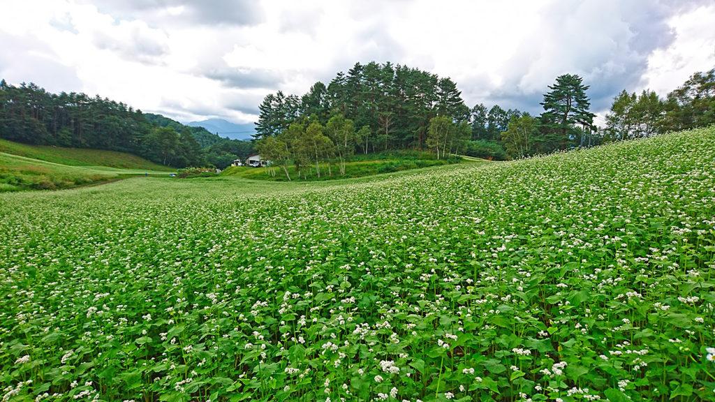 中山高原の一面に咲く蕎麦の花