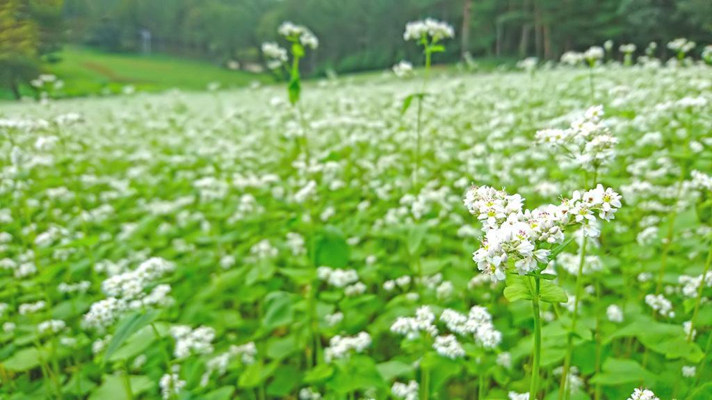 中山高原にて蕎麦の花をアップで