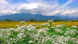 ニラの白い花と黄色く色づいた田んぼ