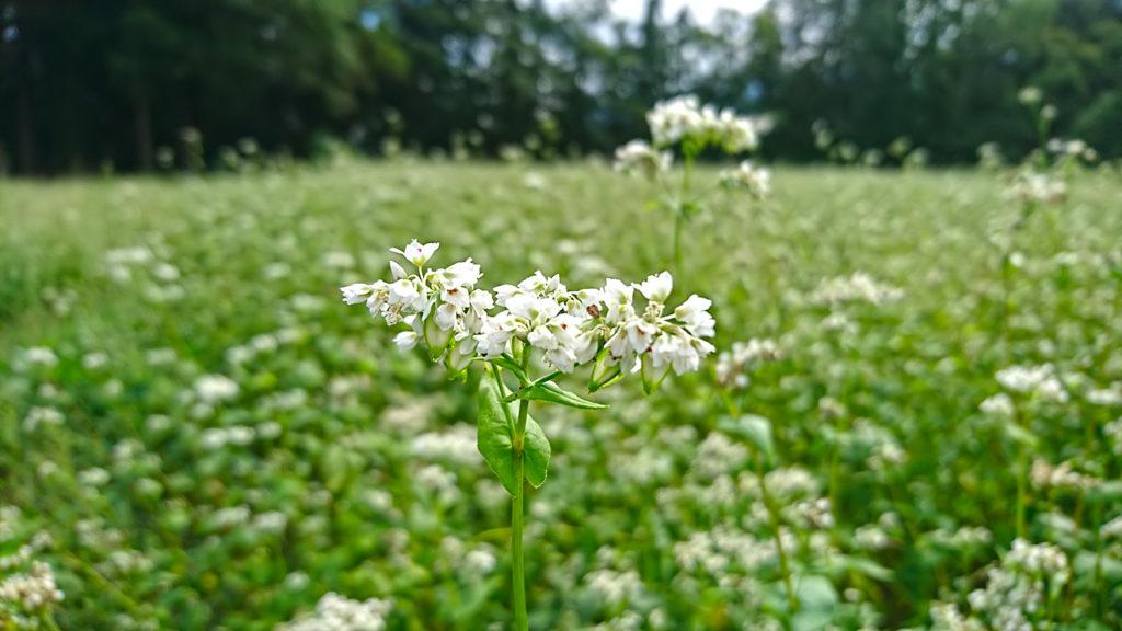普通の白い蕎麦の花