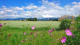 秋桜と蕎麦畑