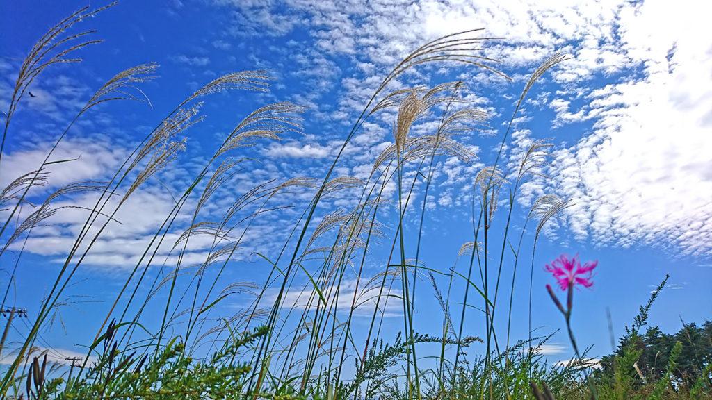 ススキとカワラナデシコと秋の空