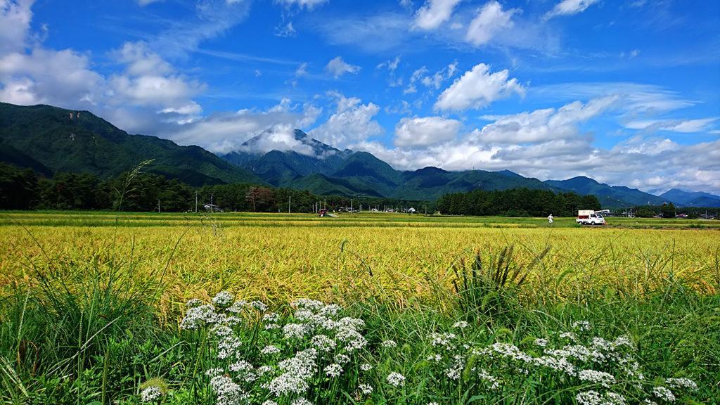 田んぼとニラの花と有明山