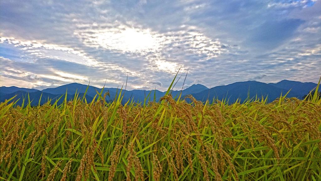 うろこ雲と常念岳と稲穂