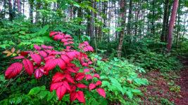 ヤマウルシの部分紅葉