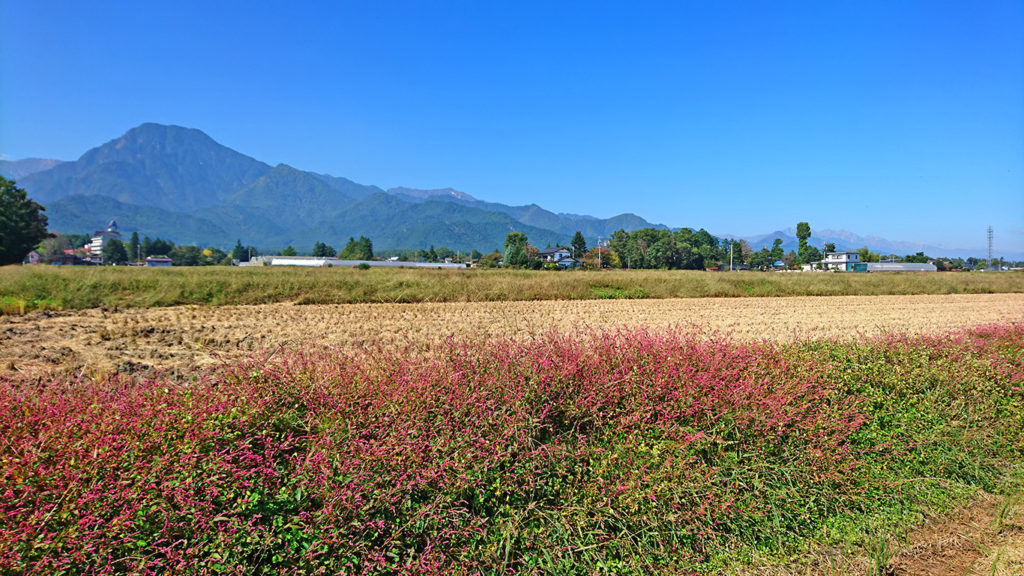 アカマンマが咲く田んぼの土手と有明山