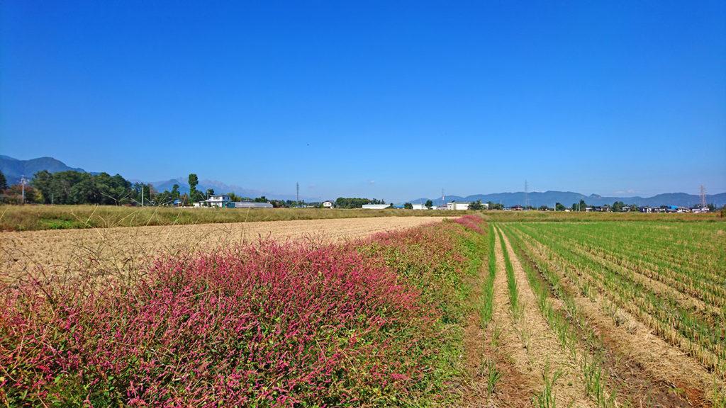 アカマンマが咲く田んぼの土手