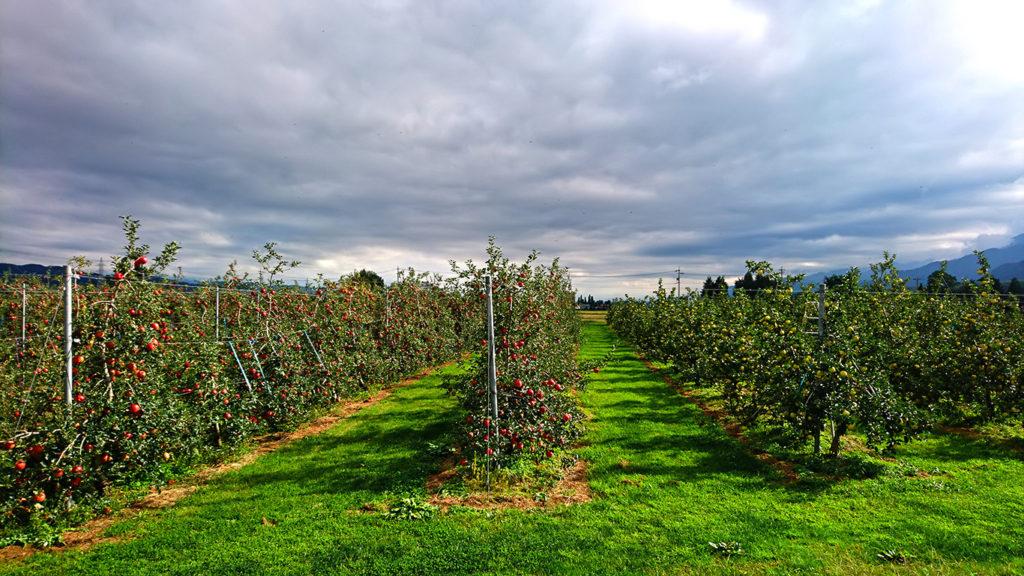 赤と青のリンゴの実