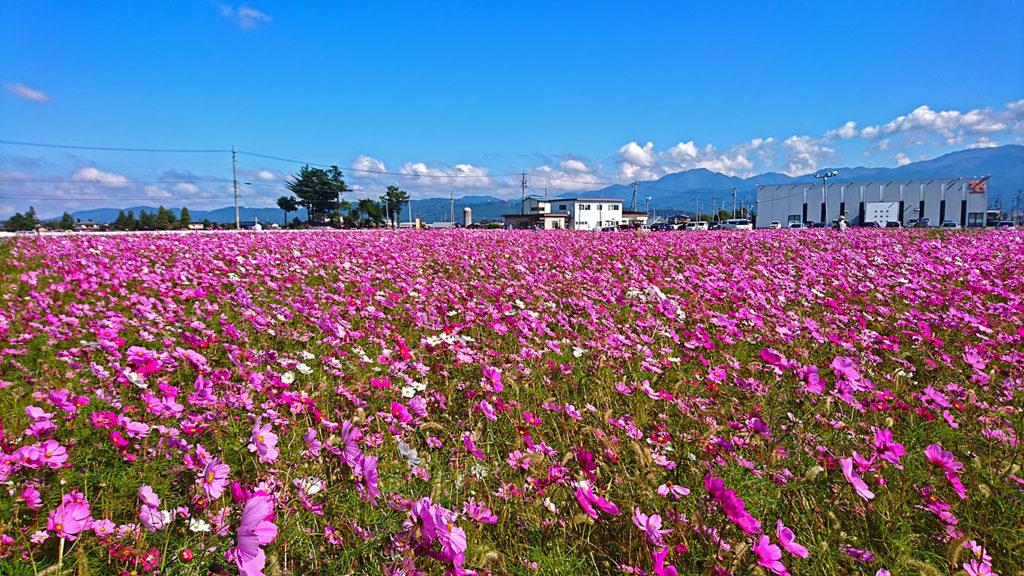 満開の松本市新村のコスモス畑