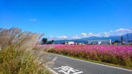 満開の松本市新村のコスモス畑とススキ