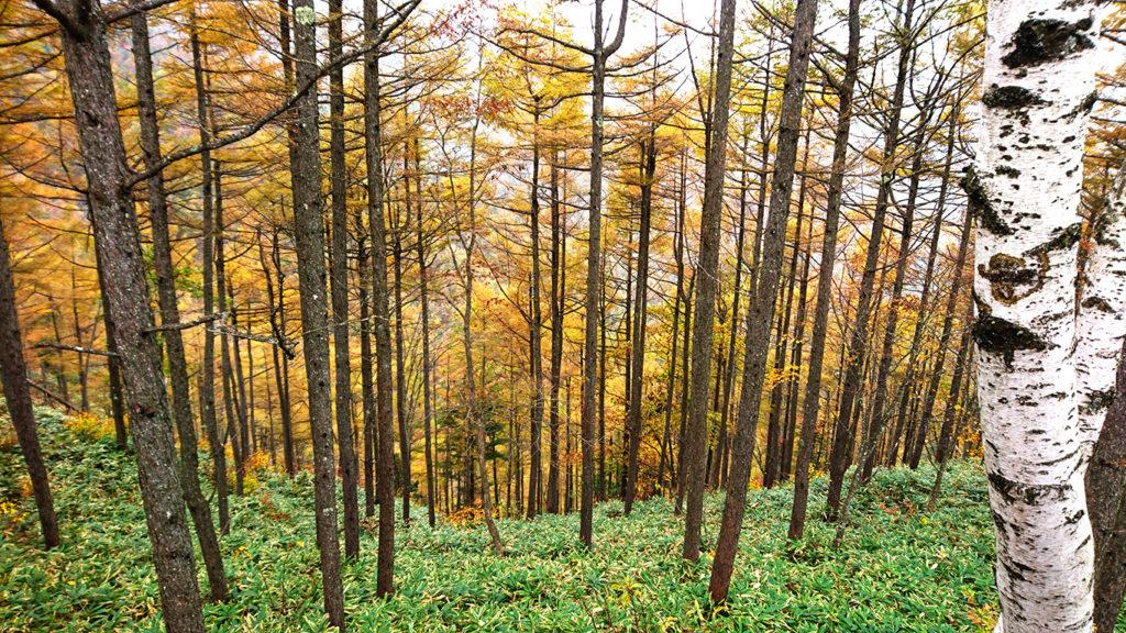 三郷スカイライン展望台からのカラマツの黄葉