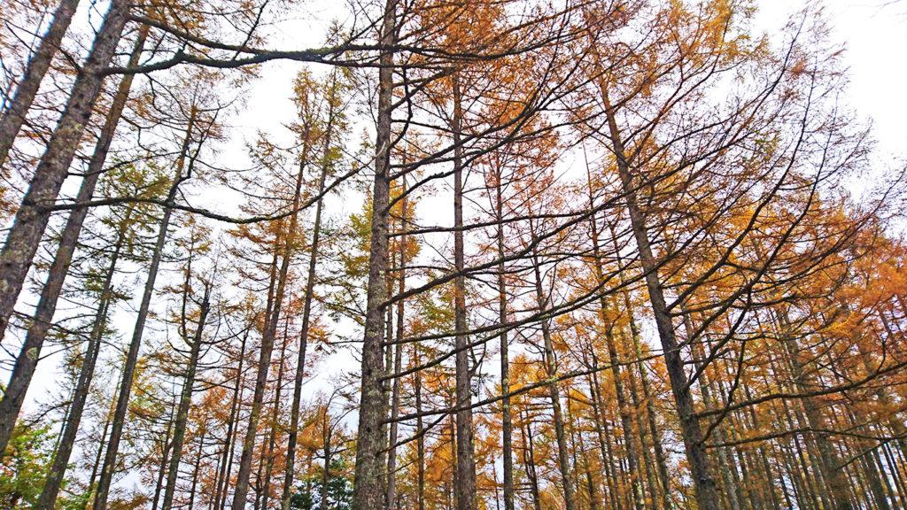 三郷スカイライン展望台付近のカラマツの黄葉