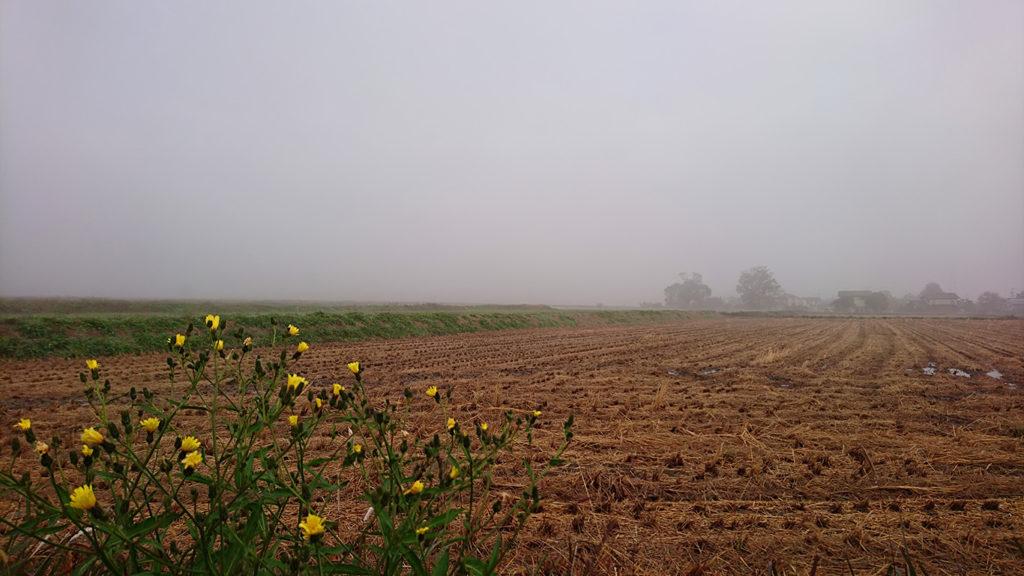 田んぼの畔に咲くオグルマと霧の風景。