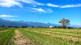 稲刈りの後の切り株から緑の芽が出ている田んぼから北アルプス