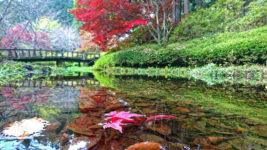 満願寺 水面に浮く紅葉したカエデの落葉