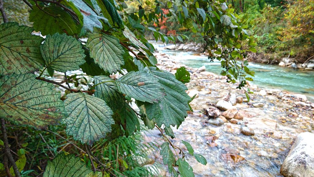 ミヤマカワラハンノキの葉