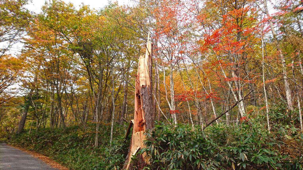 台風で折れた大木と紅葉