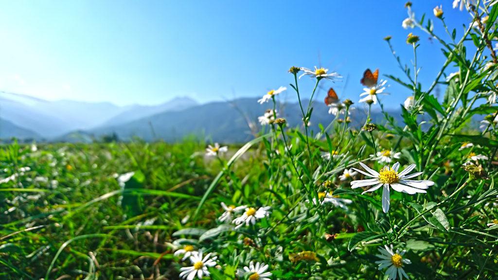 常念岳を背景に、野菊の花と、それにとまるベニシジミ
