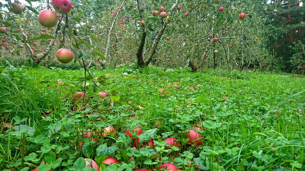 強風で落ちたリンゴ