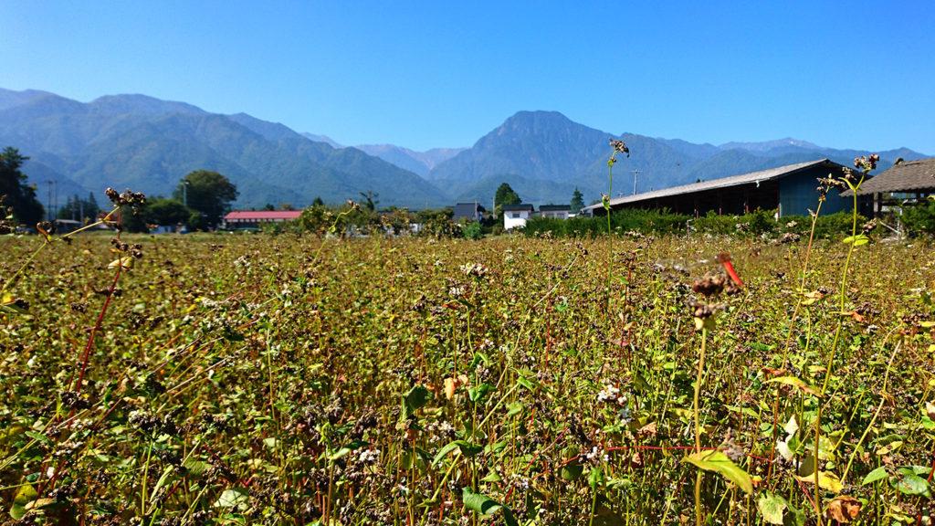 色付いてきた蕎麦畑と有明山