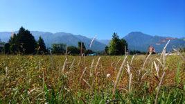 チガヤと色づいた蕎麦畑と有明山