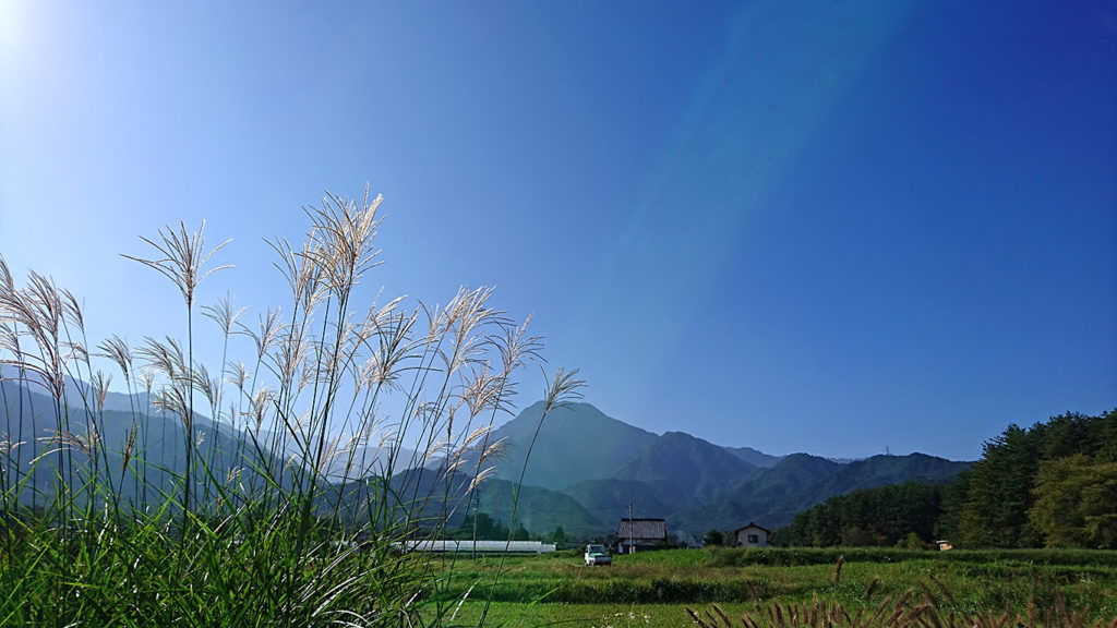 光に透けるススキの穂と有明山