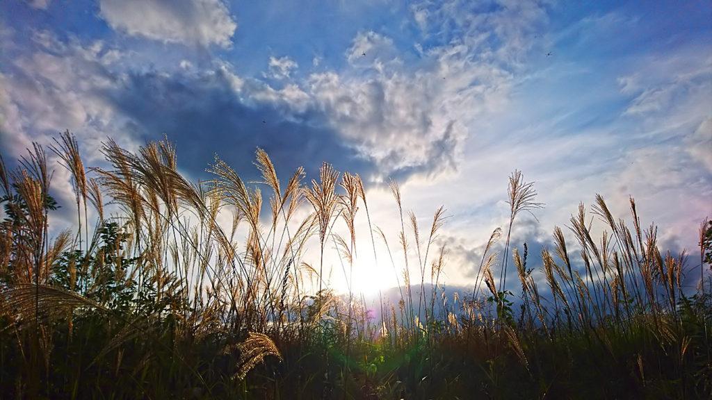 日の光に透けて光るススキの穂