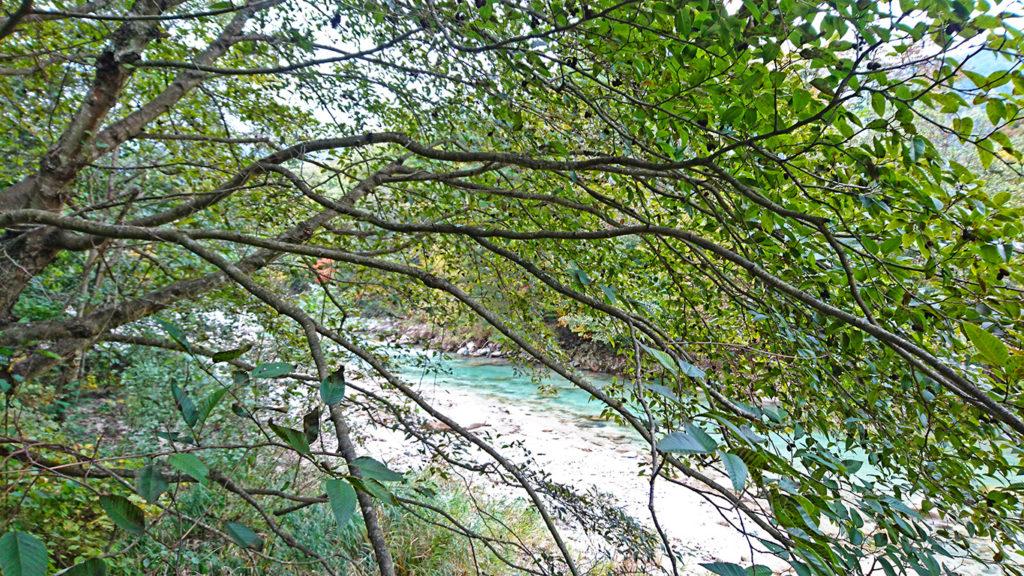 中房川沿いのヤシャブシ