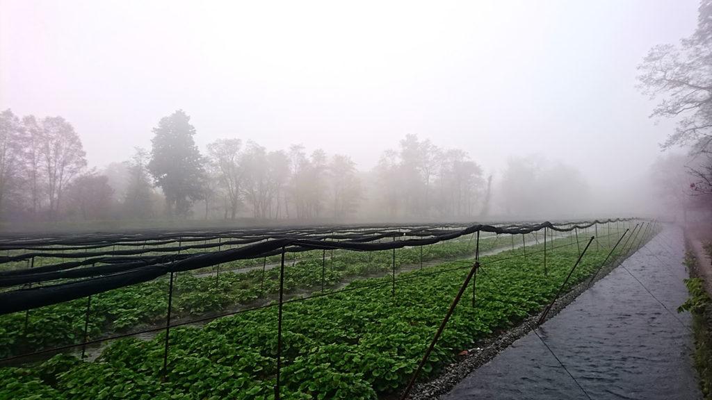 霧に包まれるわさび田