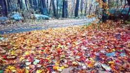 カエデの赤と黄の落葉の絨毯