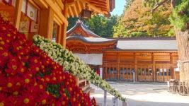 穂高神社神楽殿横の菊の花