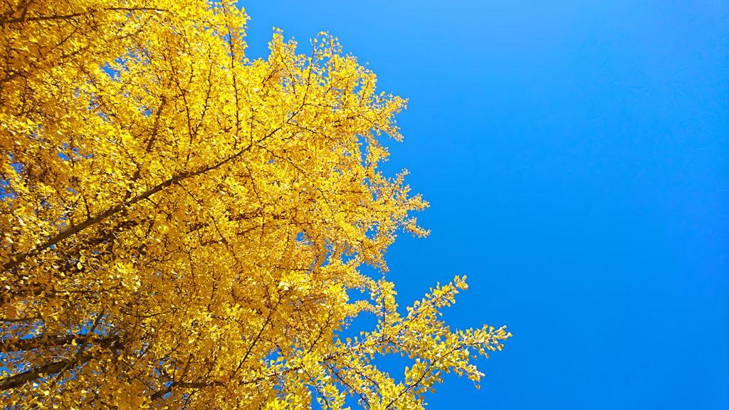 青と黄色 イチョウの黄葉を下から