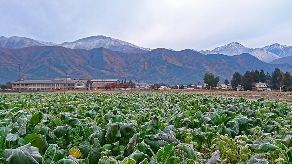 霜で白くなった野沢菜畑と常念岳