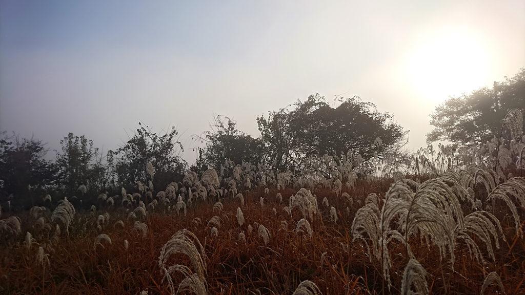 霧に濡れるススキの穂