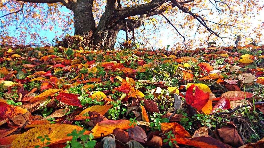 黒沢川沿いの桜の落葉の紅葉1