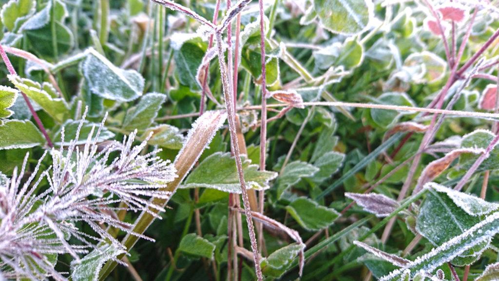霜がついたスギナ