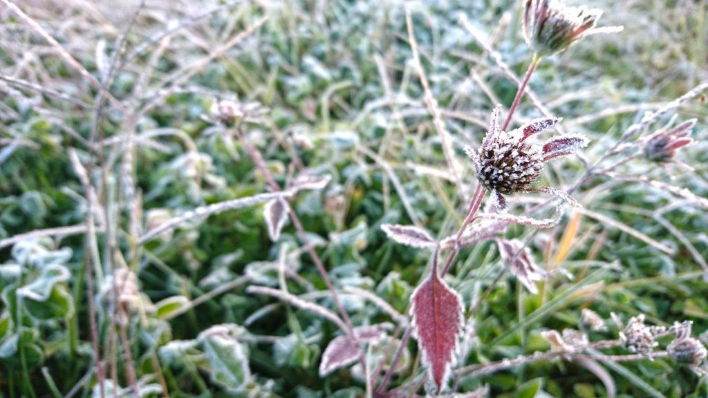 霜のついたアメリカセンダングサ